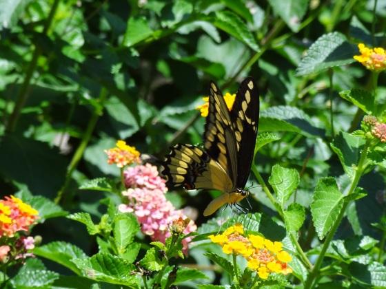 butterfly, lantana