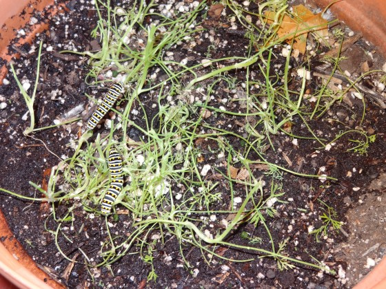 dill plants, caterpillars