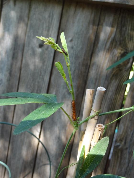 fritillary caterpillars
