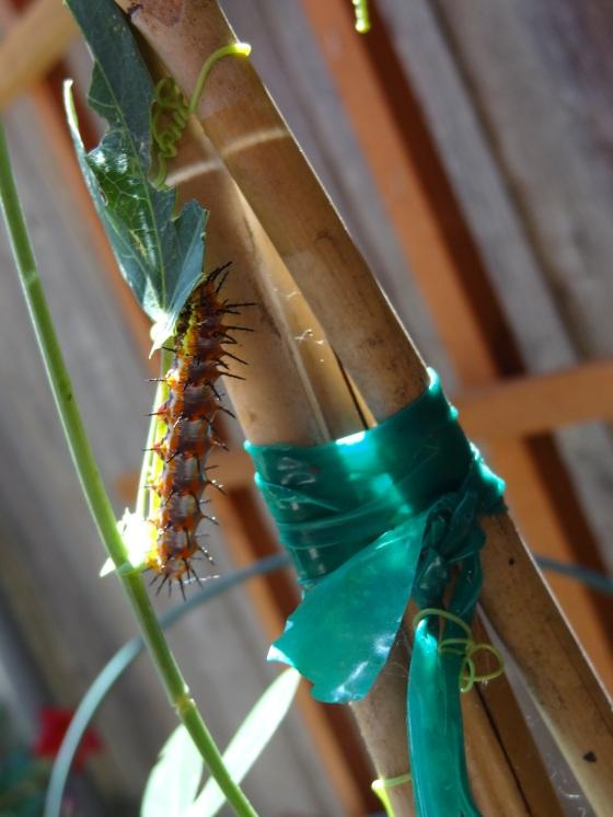 caterpillar, gulf fritillary