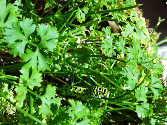 Caterpillar on Parsley