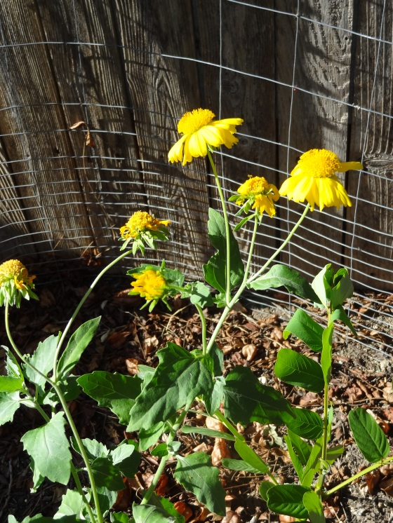 Cowpen Daisies on Sept. 7,2012