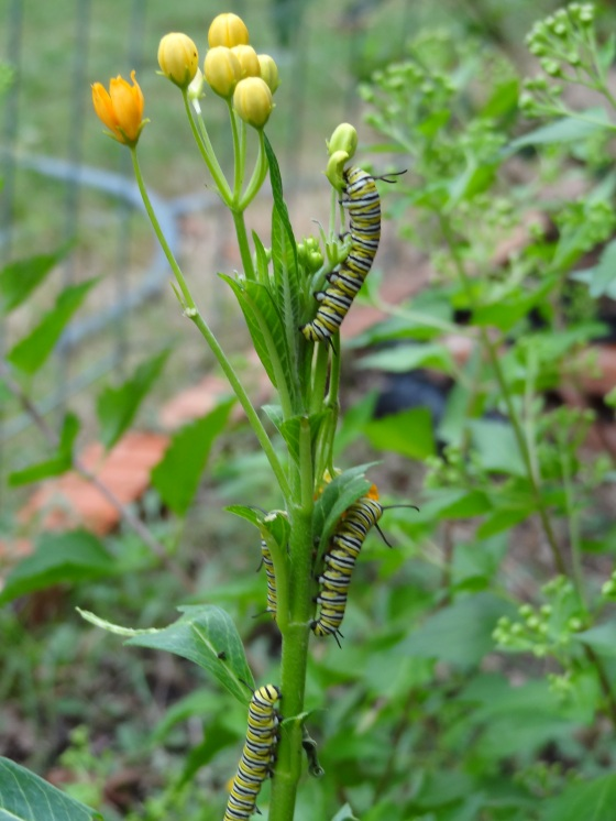 Four Monarch Caterpillars on Milkweed