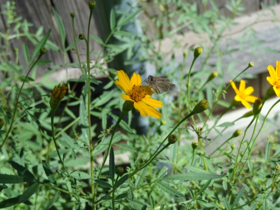Copper Canyon Daisy with Butterfly