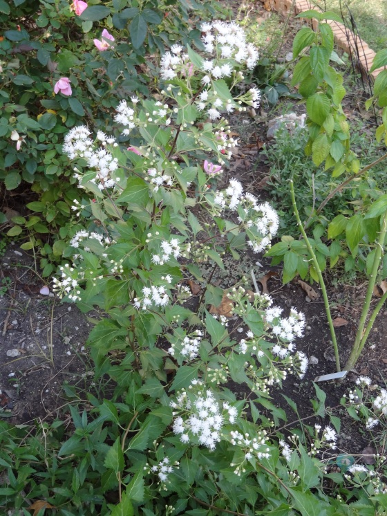Mistflower in Bloom - Nov. 2012