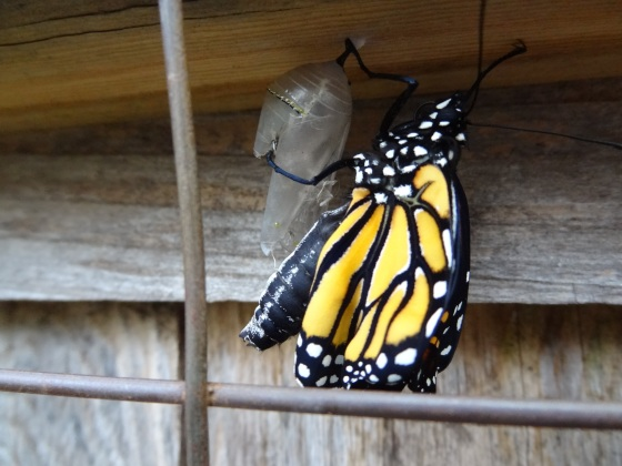 Monarch Butterfly emerges on Nov. 9,2012
