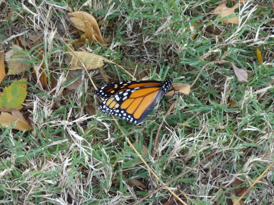 New monarch on Nov. 9,2012