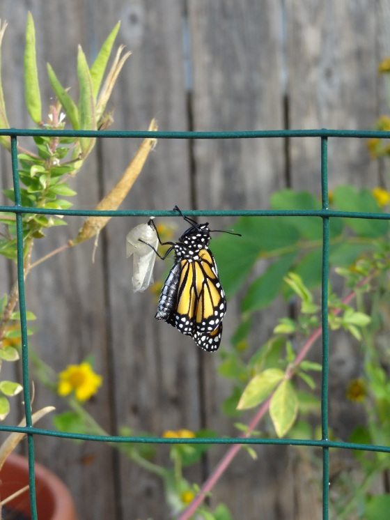 Monarch newly emerged on wire 11/10/12
