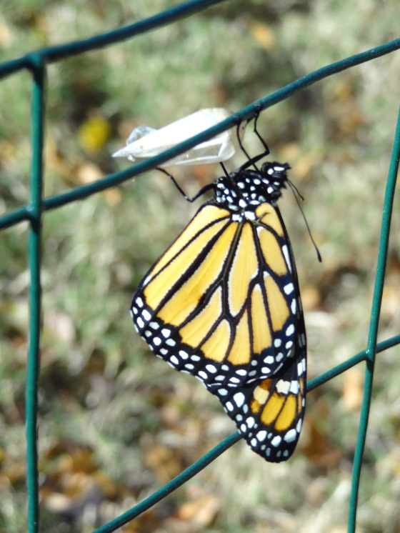 Monarch - wings drying but now completely flat  11/10/12