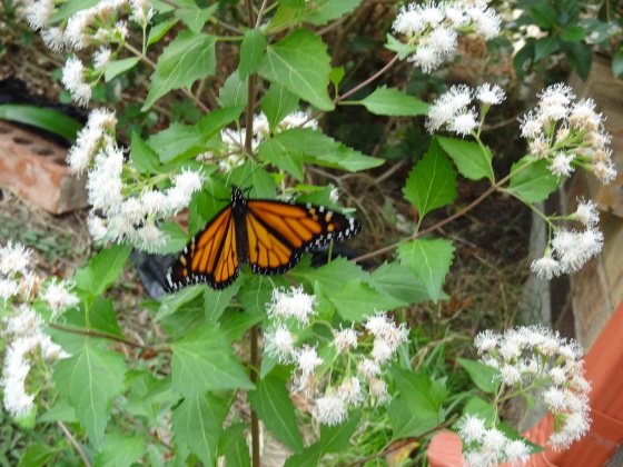 newly emerged monarch on mistflower  Nov12,2012