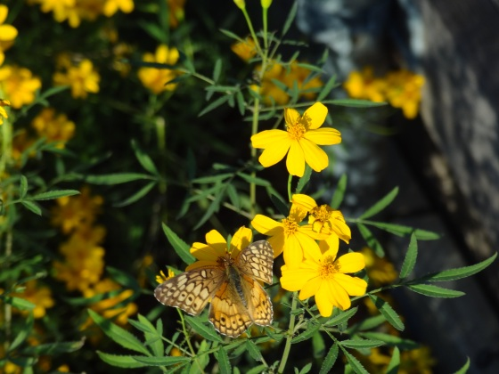 Copper Canyon Daisies with butterfly on 12/02/12