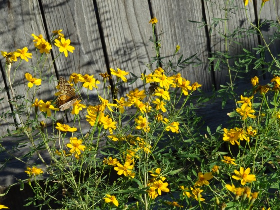 Copper Canyon Daisies with butterfly