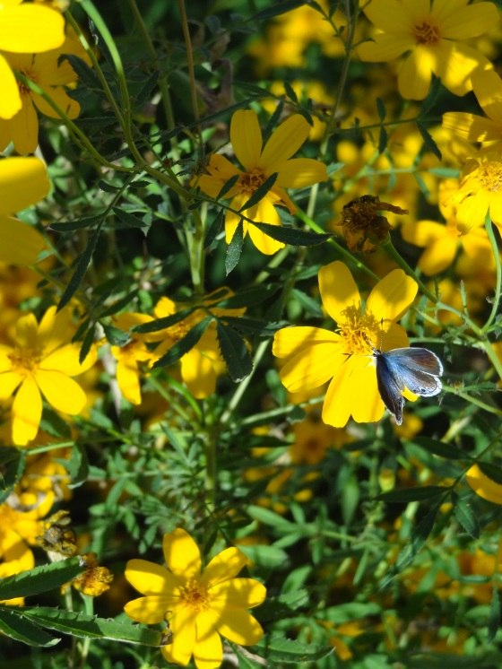 Blue Butterfly on Copper Canyon Daisies  12/04/12