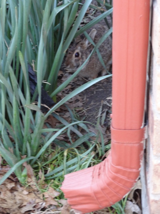 Bunny behind the daffodils in the flower bed 3/02/13