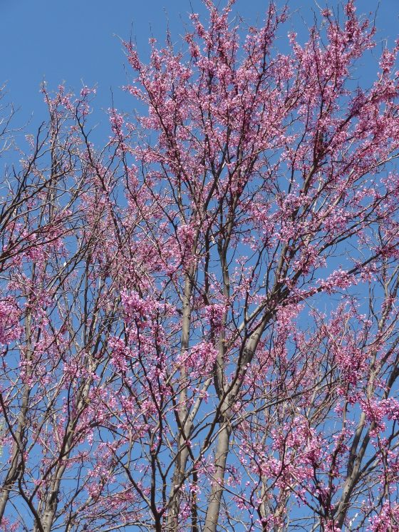 Our Redbud Tree