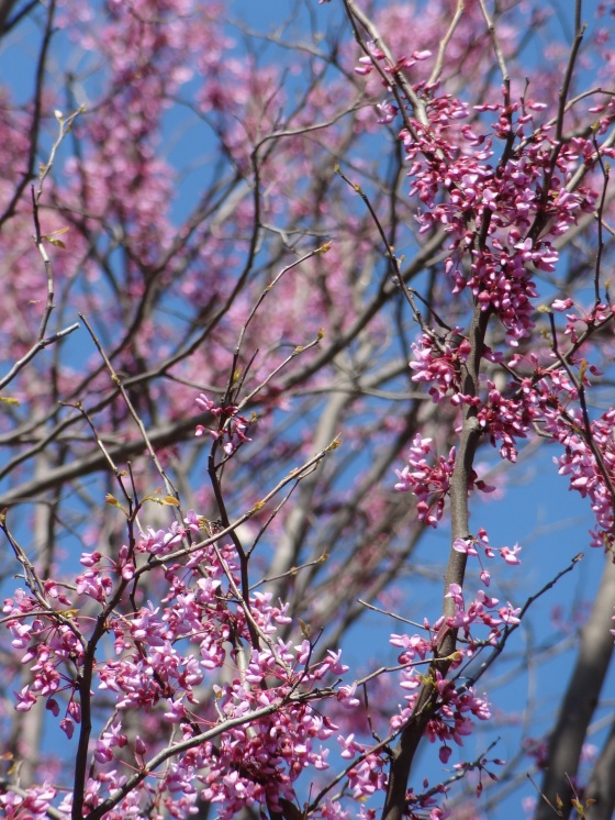 Redbud Tree - Closeup View
