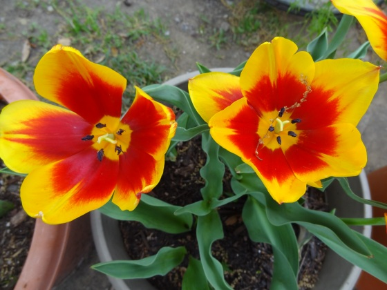 Tulips - Up Close April 2012