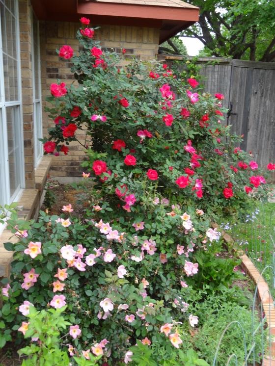 Spring Roses April 2013