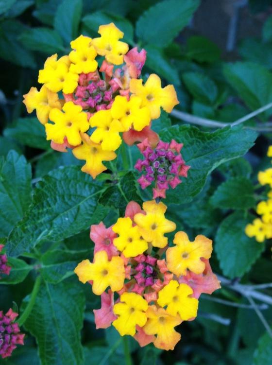 Lantana Blooms - April 2013