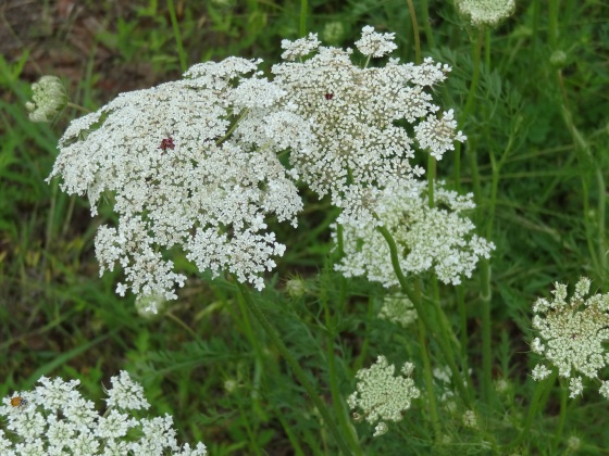 Queen Anne's Lace in Allen