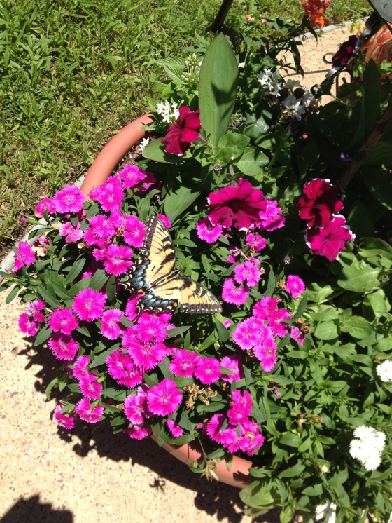 Eastern Tiger Swallowtail on Dianthus