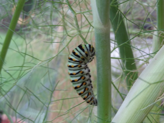 Turning into a chrysalis June 2013