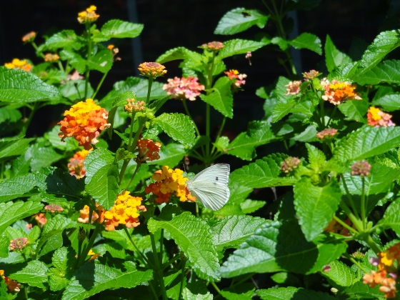 Grey Hairstreak on Lantana - June 2013