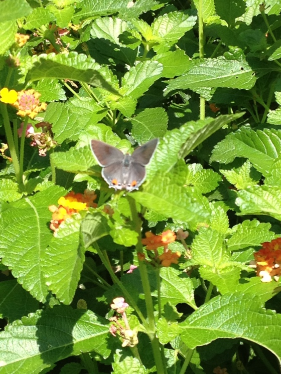 Grey Hairstreak  picture taken with my  iPhone.