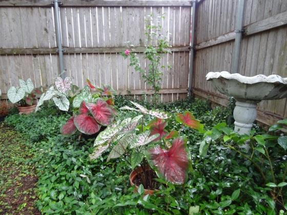 Backyard Caladiums