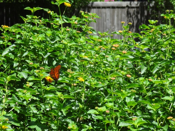 July 2013 - Lantana with Butterfly
