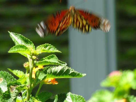 Butterfly in Flight2