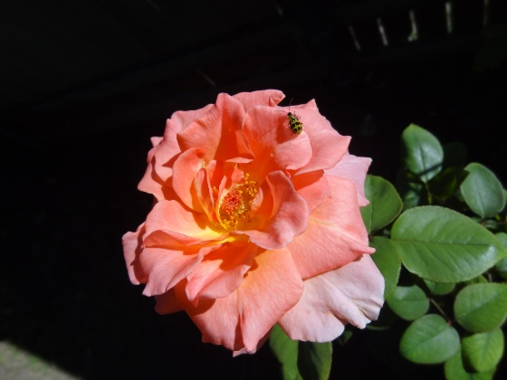 October Rose with Ladybug
