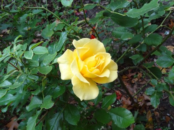 Yellow Rose - Nov. 16,2013