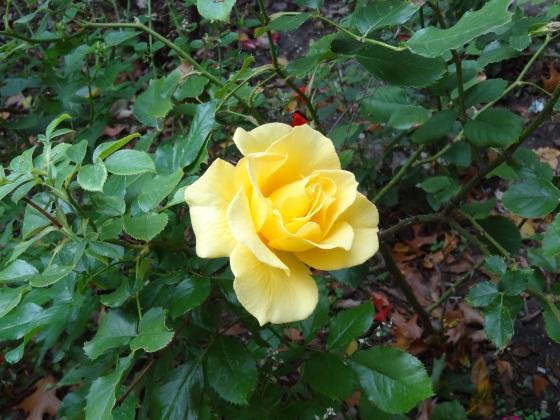 Yellow Rose - Nov. 16,2013