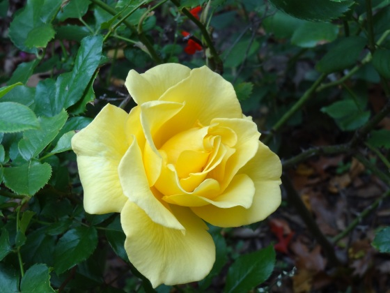 Yellow Rose - Up Close