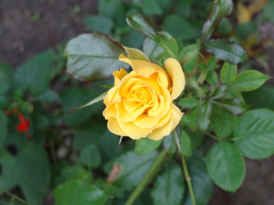 Yellow Rosebud - Nov.16,2013