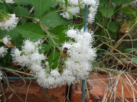 Mistflower with Bee