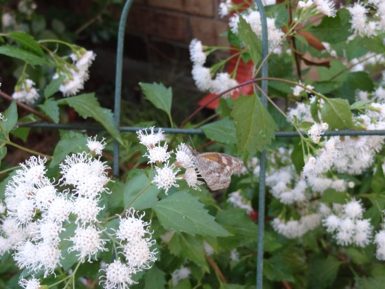Butterfly with Mistflower Pic2