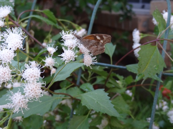 Butterfly on Mistflower Nov. 2013