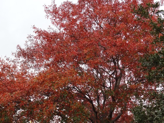Our Red Oak