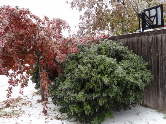 Oak Tree and Holly Covered in Ice