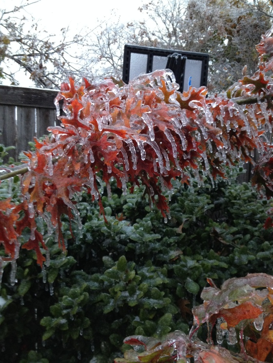 Ice Covered Red Oak Leaves