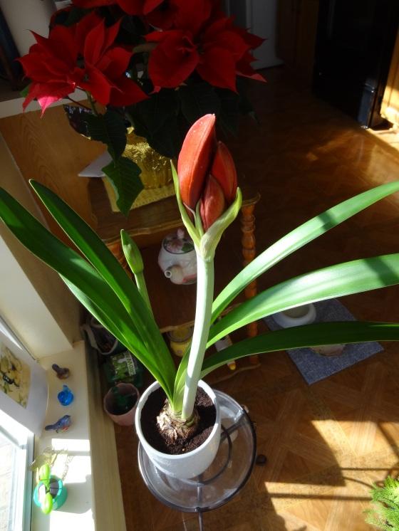 Amaryllis - Pre-Bloom