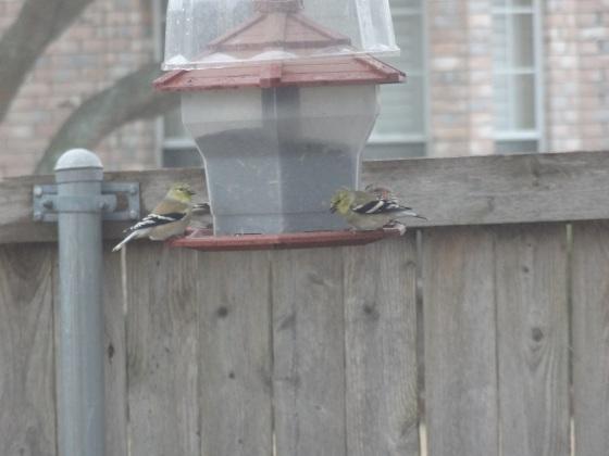 Birds on my Feeder February 2014