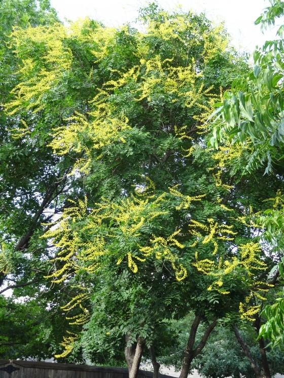 Golden Raintree