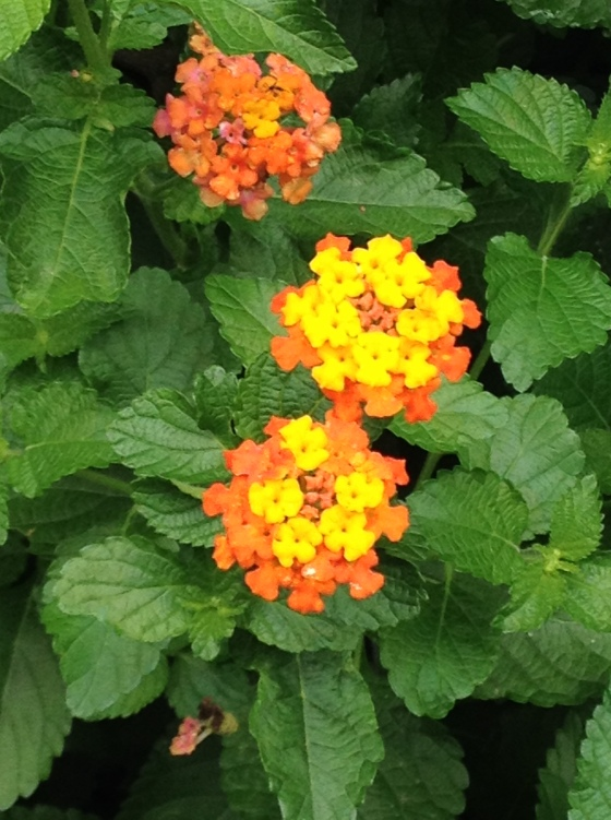 Lantana in Bloom