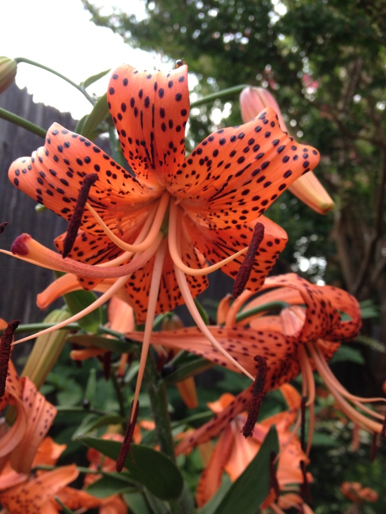 Tiger Lily without direct sun shining on it.