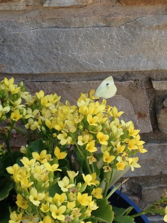 Butterfly With Kalanchoe