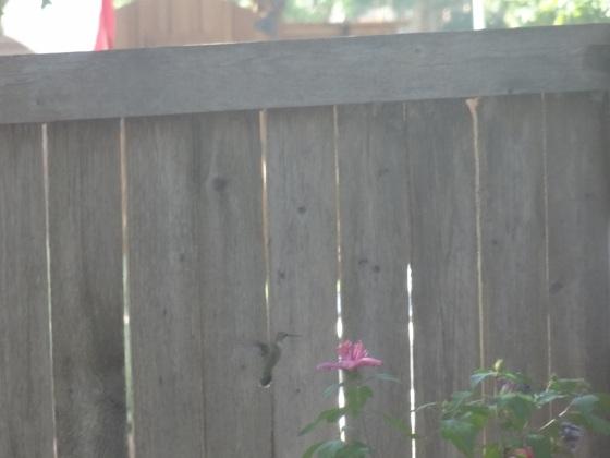 Black Chinned female hummingbird
