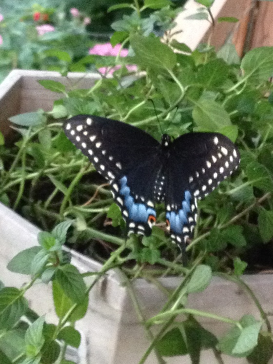 second black swallowtail Sept 11,2014
